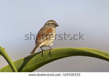 A Cape Sparrow (Passer melanurus) perched on an aloe plant against a natural blurred sky, Cape Town, South Africa - stock photo