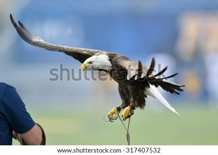 A captive bald eagle (haliaeetus leucocephalus) glides back in for a landing on it's handlers arm prior to a sporting event - stock photo