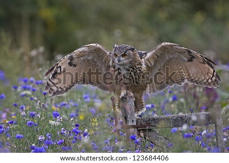 A captive European eagle owl with wings open on an old gate in a flower filled meadow - stock photo