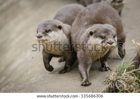 A Captive Pair of Otters At Local Zoo