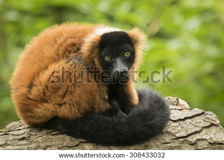 A captive red ruffed lemur (Varecia rubra) leaning on a tree trunk, in a forest. These primates are native to the rainforests of Masoala, in the northeast of the island Madagascar.  - stock photo