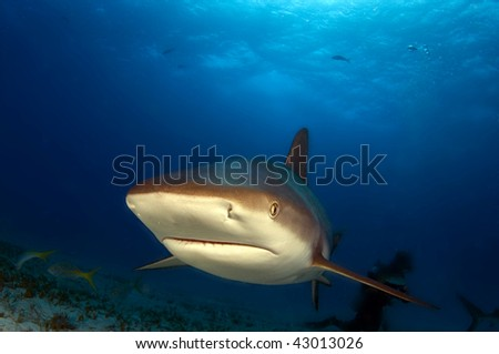 A Caribbean reef shark at Mirelle's' Garden, Bahamas - stock photo