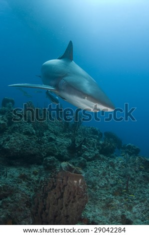A Caribbean Reef Shark (Carcharhinius perezi) swims over a coral reef in the Bahamas, under the shadow of a boat on the surface - stock photo