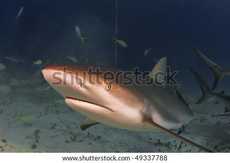 A Caribbean reef shark makes a close pass. - stock photo