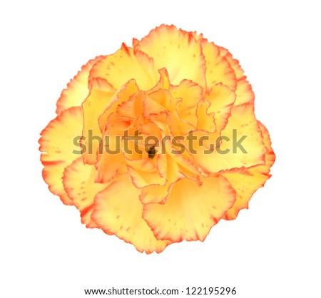 A carnation blooming isolated white - stock photo