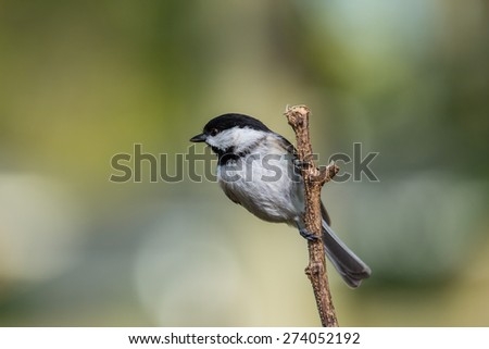 A Carolina Chickadee perched on a small branch in northern Lexington, KY.