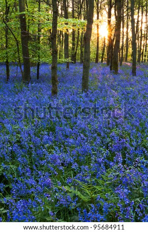 A carpet of bluebells at the height of their bloom at Cowleaze wood, Oxfordshire, with the spring sun setting in the background. - stock photo