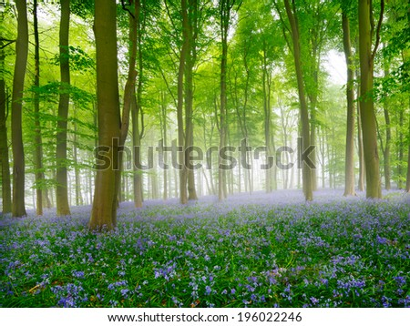 A carpet of bluebells in the  misty woods UK