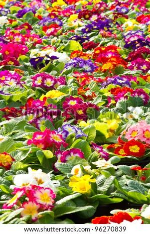 A carpet of primroses - stock photo