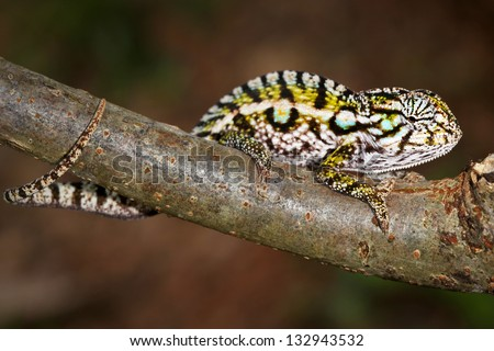 A Carpet or Jeweled or White-lined Chameleon (Furcifer lateralis) in the wilds of Madagascar (Ranomafana).  Leaves, branch, forest, foliage, tree, rain. - stock photo