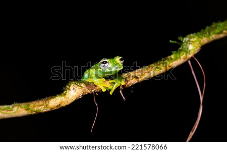 A Cascade Glass frog sits on a branch close to a water stream in Corcovado National Park - stock photo