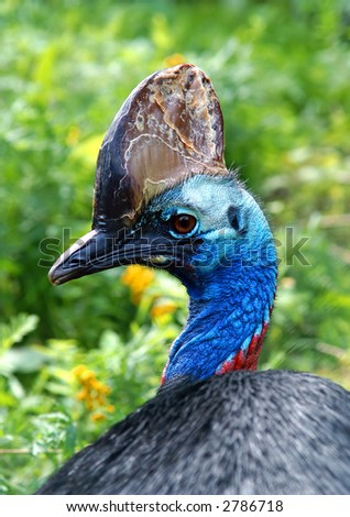 "A ""Cassowary"" looking over his back. - stock photo"