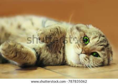 A cat (brown Scottish Fold) lies on the floor and enjoys it.