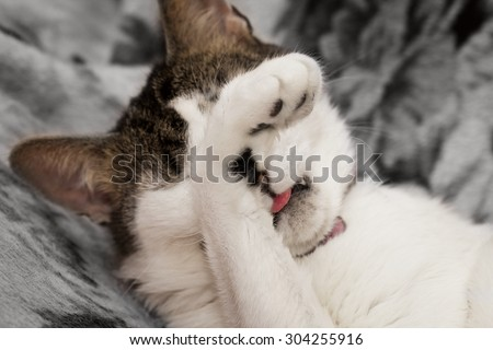 A cat covering his eyes with a paw not wanting to see anything - stock photo