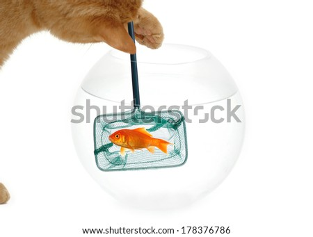 A cat is fishing for a goldfish. Taken on a clean white background. - stock photo