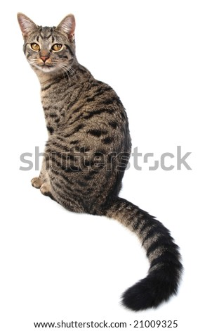A cat sitting, showing off her very long tail. - stock photo
