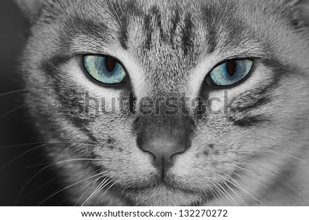 a cat with blue eyes is looking at you