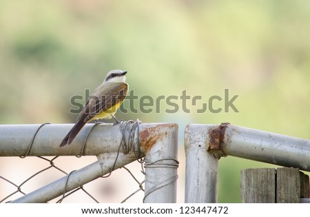 A cattle tyrant standing on a metal fence