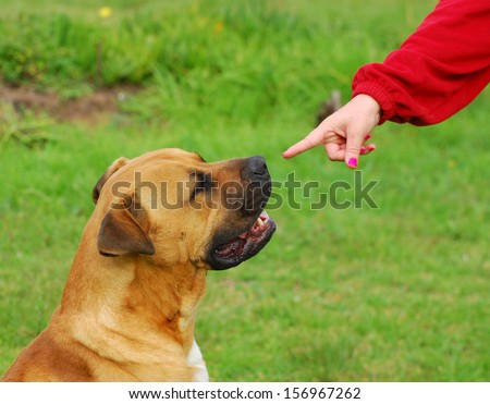 A Caucasian female hand pointing with the index finger at a big purebred Boerboel dog to show him to listen to her command.