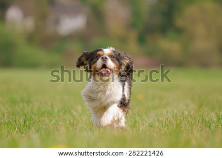 A Cavalier King Charles dog runs happily on a meadow - stock photo