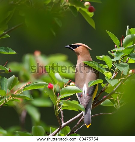 A Cedar Waxwing perched on a tree limb surrounded by green leaves and red berries. - stock photo