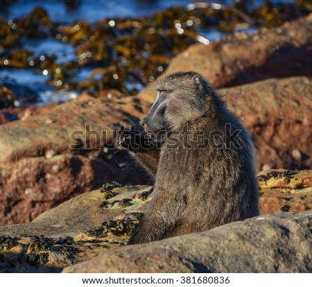 A Chacma Baboon has a brunch of shellfish on the shores of the Western Cape, South Africa - stock photo