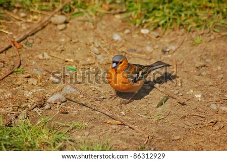 a chaffich ,(Fringilla Coelebs) grounded - stock photo