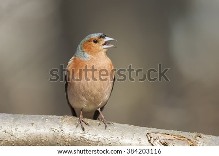a Chaffinch sings on a branch isolated on  background - stock photo
