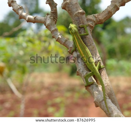 a chameleon sitting on a bough in Uganda (Africa) in front of blurred vegetation background - stock photo