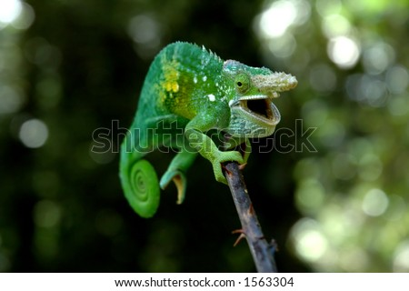 A chameleon species endemic to the Usambara Mountains in Tanzania - stock photo