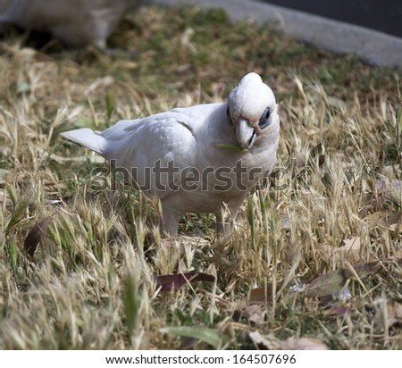 A cheeky blue eyed  white Australian corella is eating the grassy tips of weeds in the park on a sunny day in late spring. - stock photo