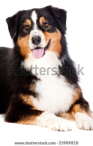 A cheerful black and brown australian shepard lying down obediently against a white background