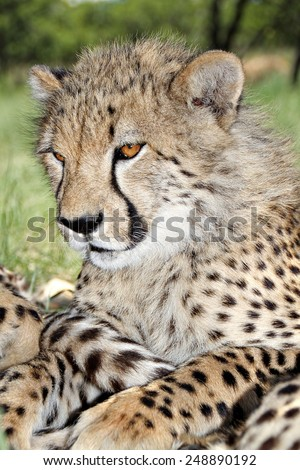 A Cheetah cub relaxes in the shade at a game park in South Africa. - stock photo