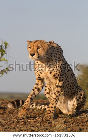A cheetah gets up to start stalking in golden light