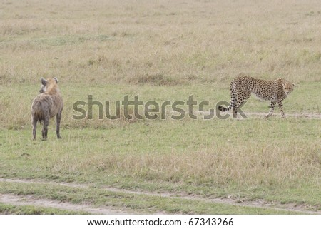 A cheetah & hyena cross paths on the Masai Mara in Kenya.