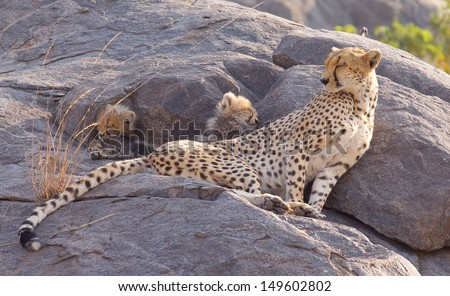 A cheetah is sitting on the rocks with two little cheetah  cubs  behind her who are sleeping - stock photo