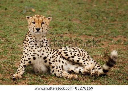 A cheetah looking at camera in Masai Mara Game Reserve - stock photo