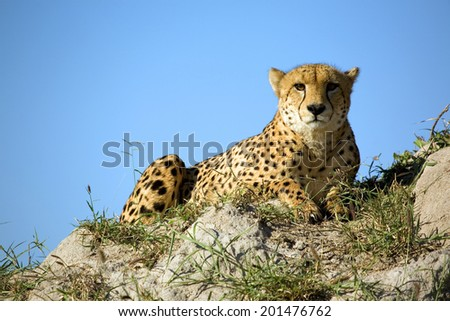 a cheetah lying on a termite mound