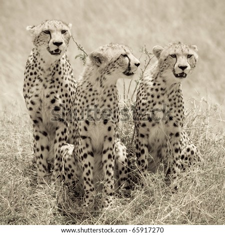 A cheetah mom & her 2 cubs on the plains of the Masai Mara (sepia tone). - stock photo