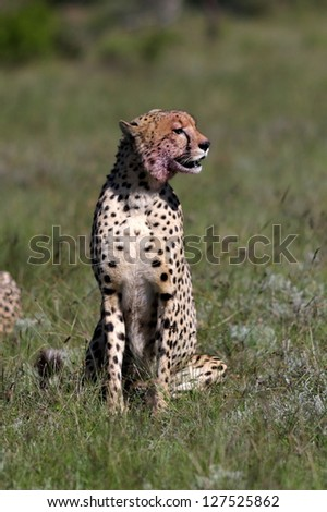 A cheetah sitting in the green grass on safari in South Africa - stock photo