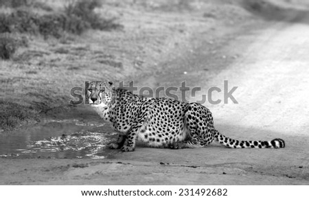 A cheetah stops for a drink of water. - stock photo