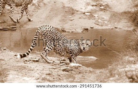 A cheetah stops for a quick drink of water while hunting in Africa. - stock photo