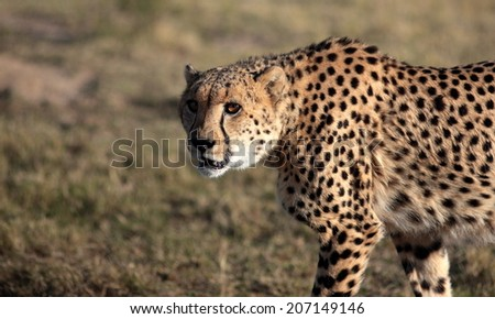 A cheetah walks past in golden light and gives me the look. South Africa - stock photo