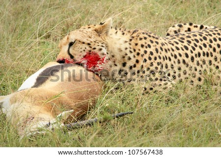 A cheetah with its kill, a Thomson's gazelle. This kill was photographed in the wild in the Masai Mara, Kenya, Africa.
