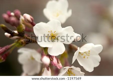 A cherry blossom in Washington, D.C. - stock photo