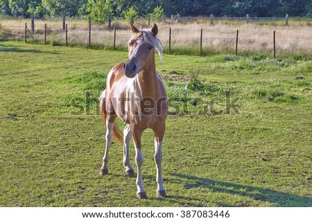 A chestnut foal standing, looking at camera on a meadow.  - stock photo