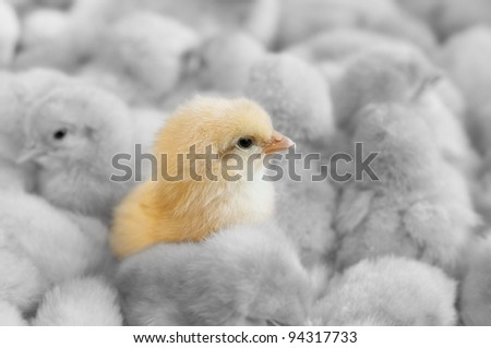 A chick in between yellow chicks group - stock photo