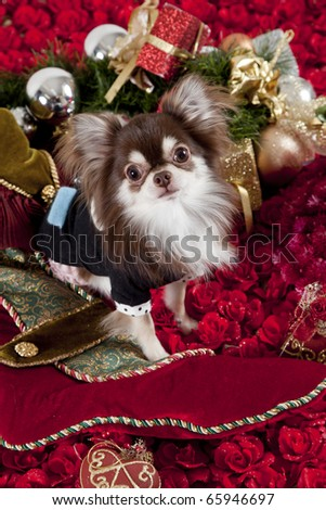 a chihuahua dog dressed in christmas theme surrounded by christmas ornaments sitting on a bed of roses, he even seems to have a santa beard - stock photo
