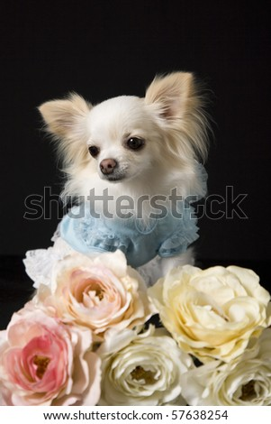 a chihuahua dog dressed in clothes on a black background behind some artifical flowers - stock photo