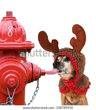 a chihuahua dressed up for christmas as a reindeer licking a red fire hydrant during winter and getting his tongue stuck - isolated on a white background for easy clipping path - stock photo
